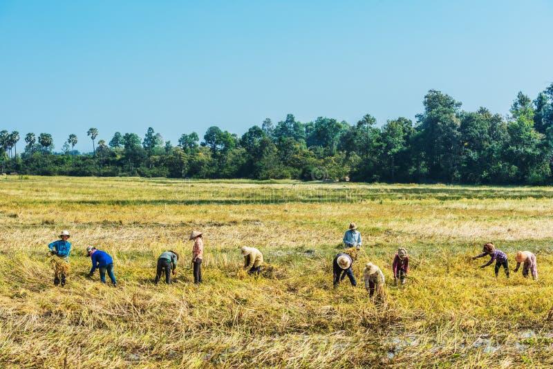 收获米吴哥柬埔寨的农民 免版税库存图片
