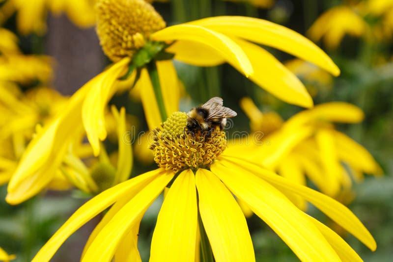 收获花蜜的谦逊蜂在黄色花 免版税库存图片