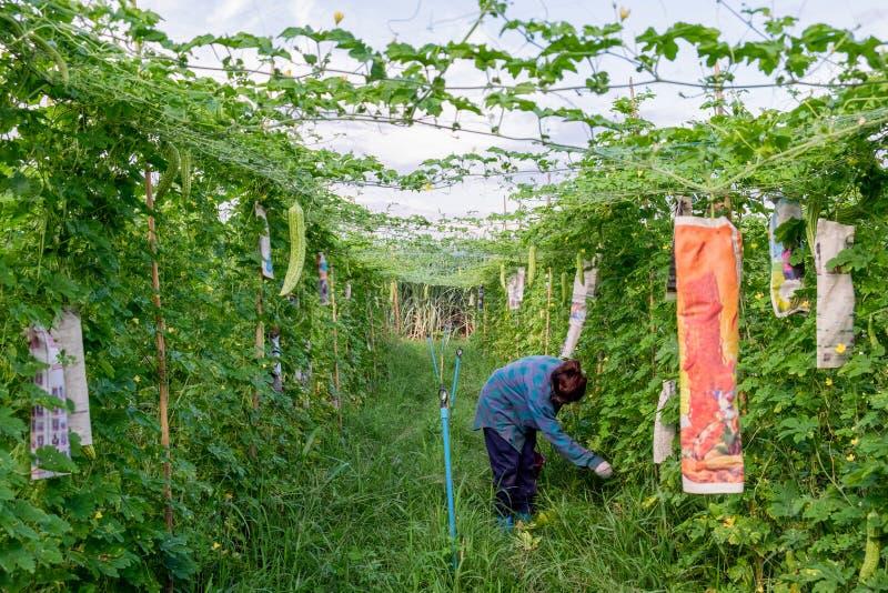 收获苦涩金瓜的年轻亚裔农夫在种植园 免版税库存照片