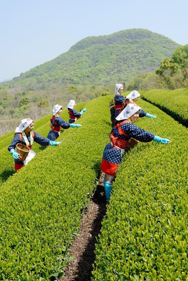 收获茶叶的日本妇女 免版税库存图片