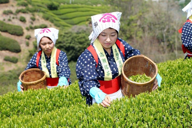 收获茶叶的日本妇女 图库摄影