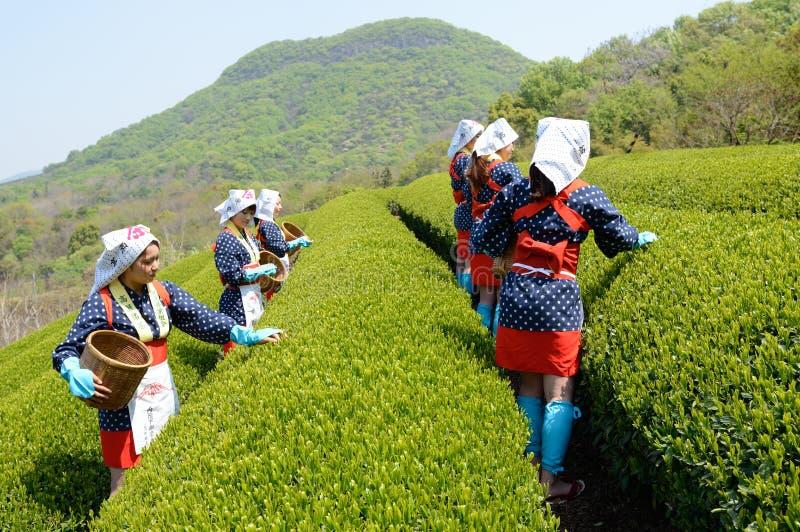 收获茶叶的日本妇女 库存图片