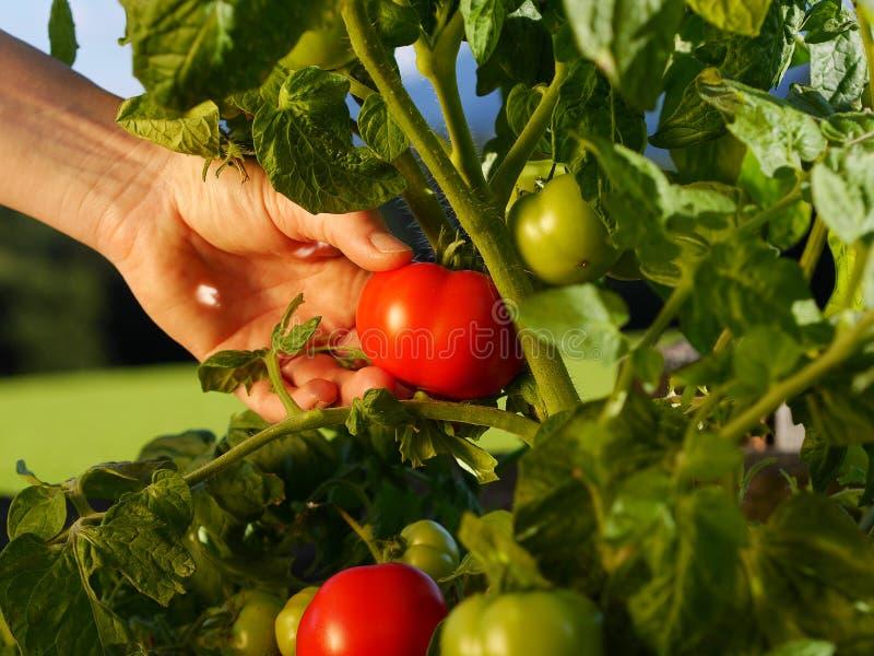 收获蕃茄在庭院里 免版税库存图片