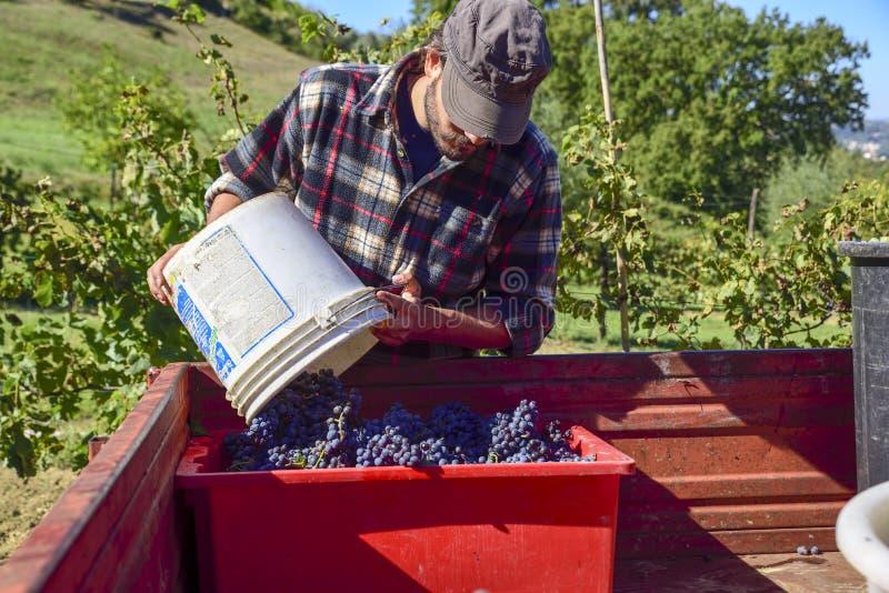 收获,农夫在工作在意大利葡萄园里收集葡萄为 免版税库存图片