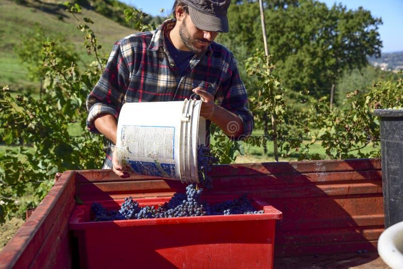 收获,农夫在工作在意大利葡萄园里收集葡萄为 免版税库存照片