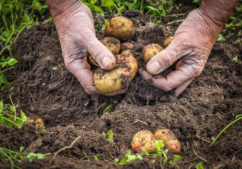 收获从土壤的男性手新鲜的土豆 免版税库存照片
