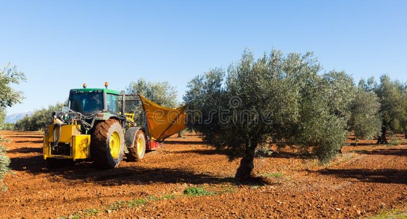 收获黑橄榄的拖拉机在农业植物 免版税库存图片