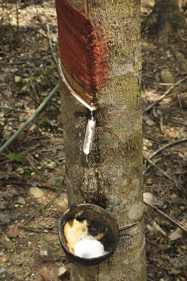 收集乳汁从橡胶树 库存照片