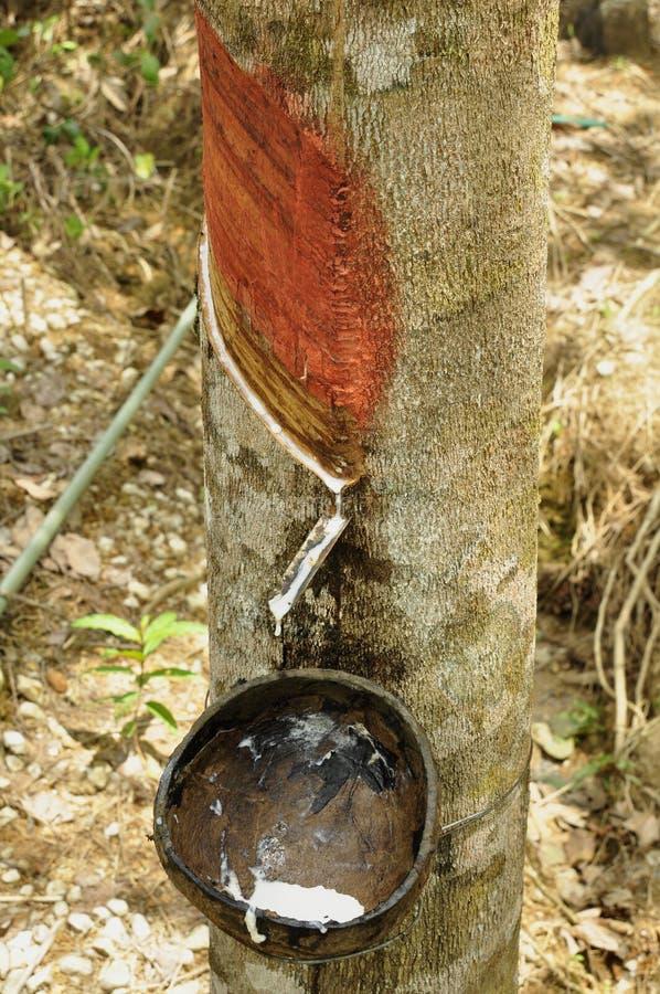 收集乳汁从橡胶树 库存图片