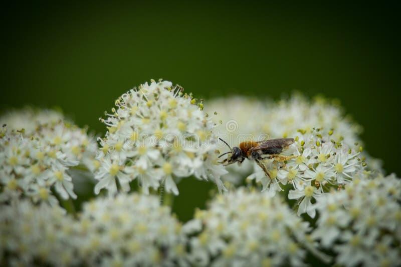 收集在欧蓍草野花3的早期的开采的蜂(Andrena haemorrhoa)花粉 免版税库存照片