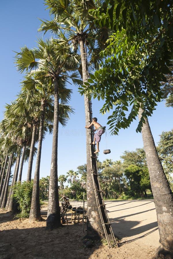 收集在缅甸的棕榈糖。 库存照片
