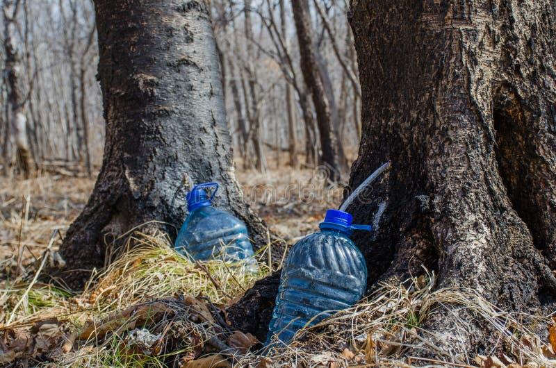 收集树汁的桦树 免版税库存图片
