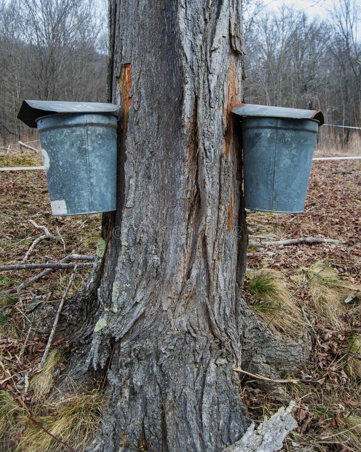 收集树汁的桶做枫蜜 免版税库存照片