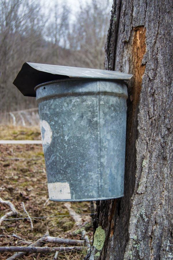 收集树汁的桶做枫蜜 免版税库存图片