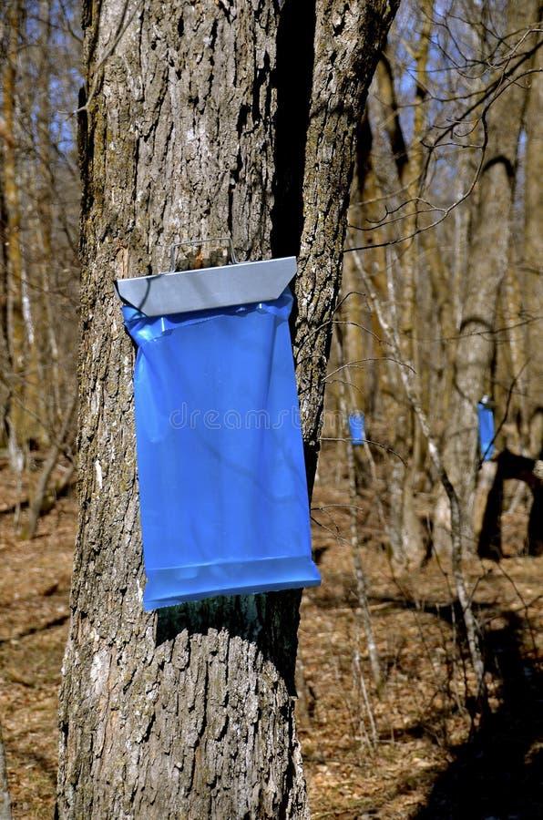 收集槭树树汁 库存照片