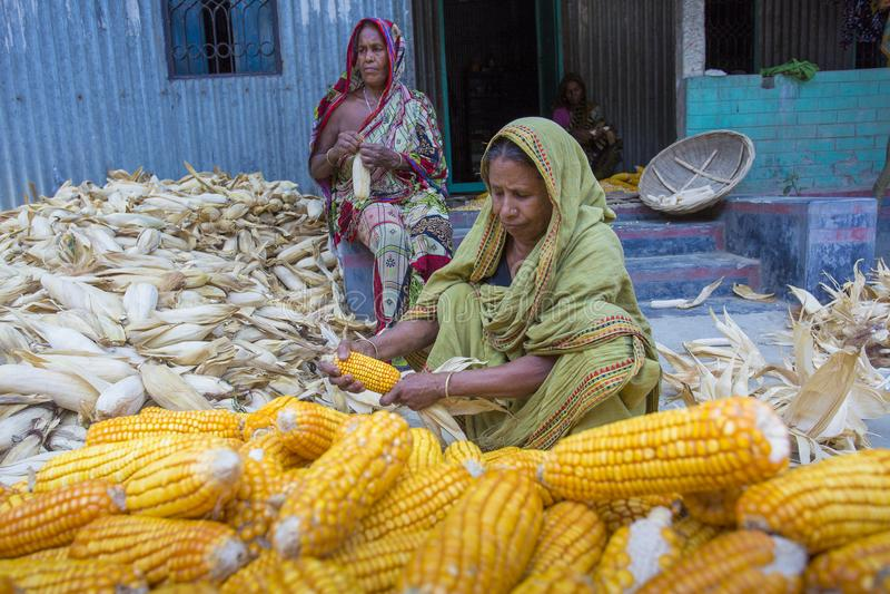 收集玉米, Manikgonj,孟加拉国的一些地方妇女 免版税库存照片