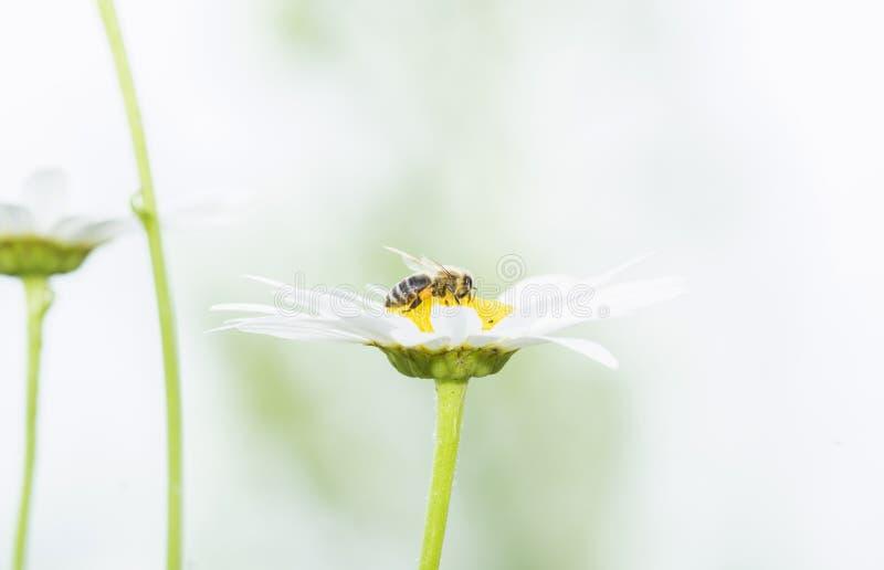 收集花粉的工作者蜜蜂Apis mellifera的宏指令 免版税库存照片