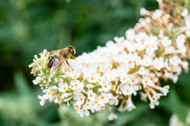 收集花粉的昆虫 图库摄影