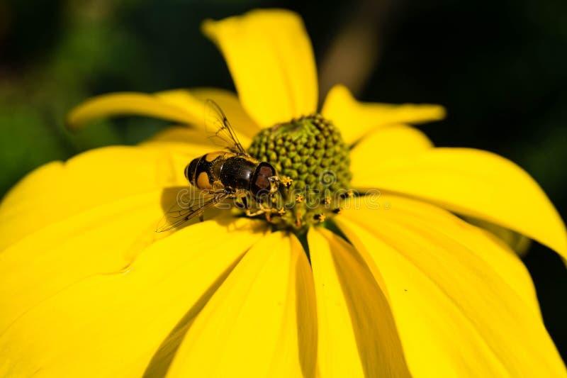 收集花粉的昆虫 库存图片