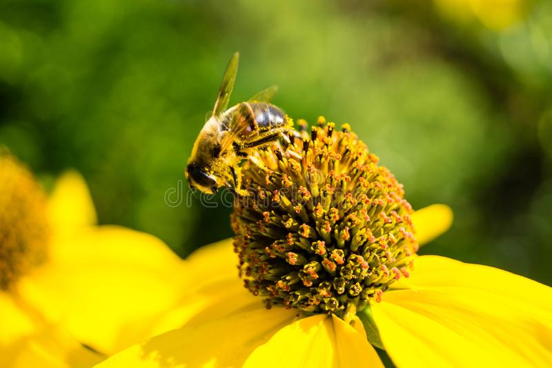 收集花粉的昆虫 免版税库存照片