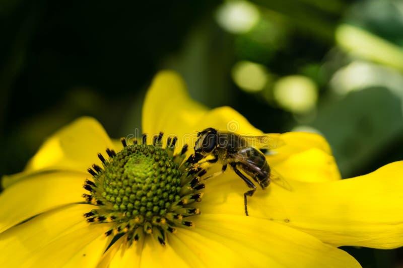 收集花粉的昆虫 免版税库存图片