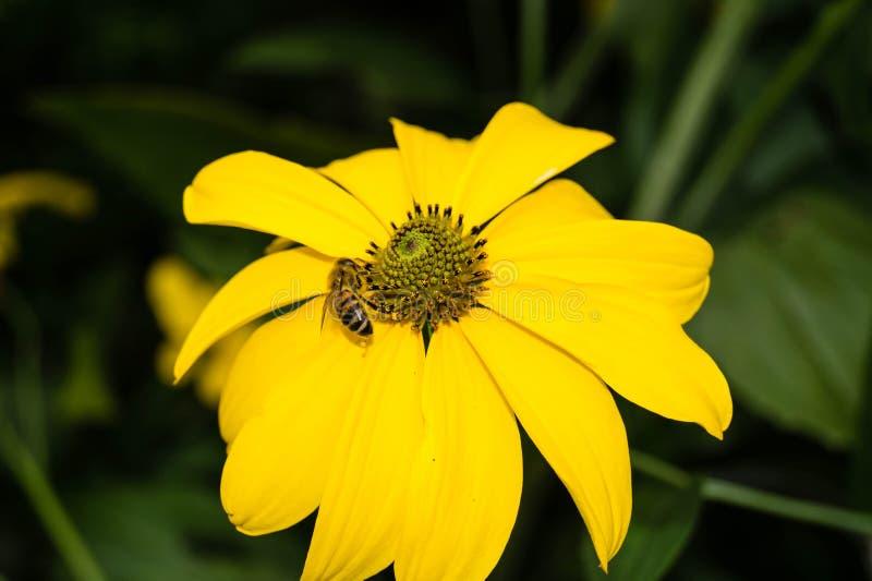 收集花粉的昆虫 库存照片