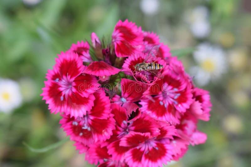 收集花粉的蜂从庭院花在农村乡下 免版税图库摄影