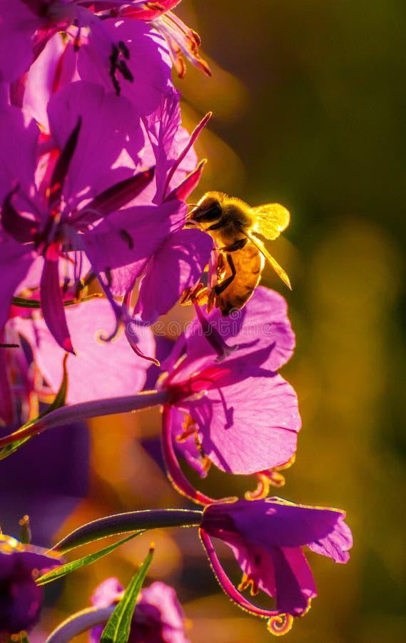 收集花粉的蜂蜜蜂从开花的花 库存图片