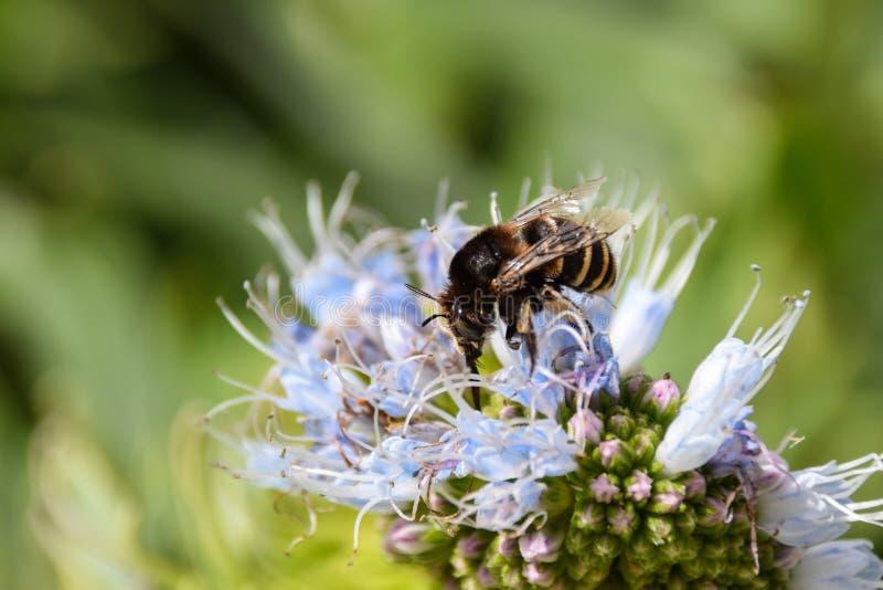 收集花粉的被结合的蜂从echium花在圣港岛,马德拉 图库摄影