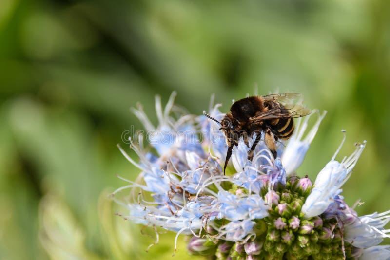 收集花粉的被结合的蜂从echium花在圣港岛,马德拉 免版税库存照片