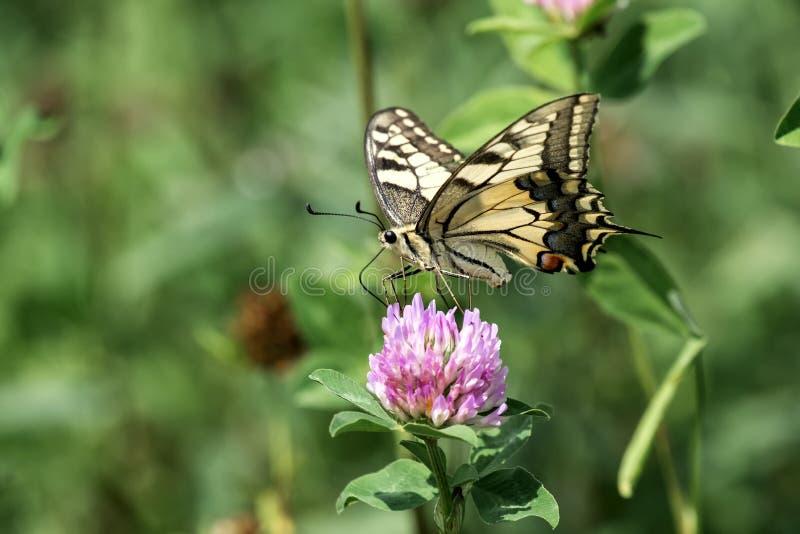 收集花蜜的共同的黄色Swallowtail从一朵红三叶草花 库存照片