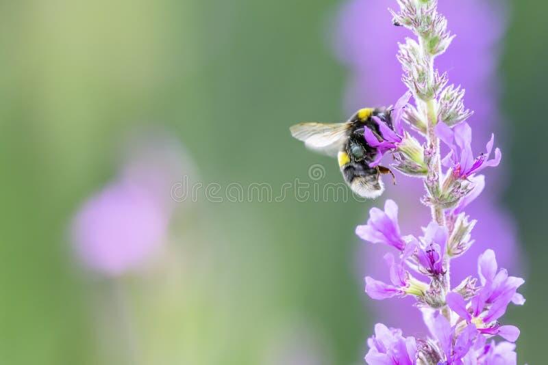 收集花蜜的土蜂从在夏天草甸的紫色花 免版税图库摄影