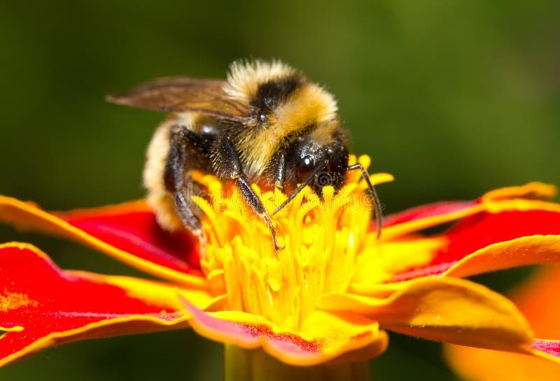 收集花蜜的土蜂 库存照片