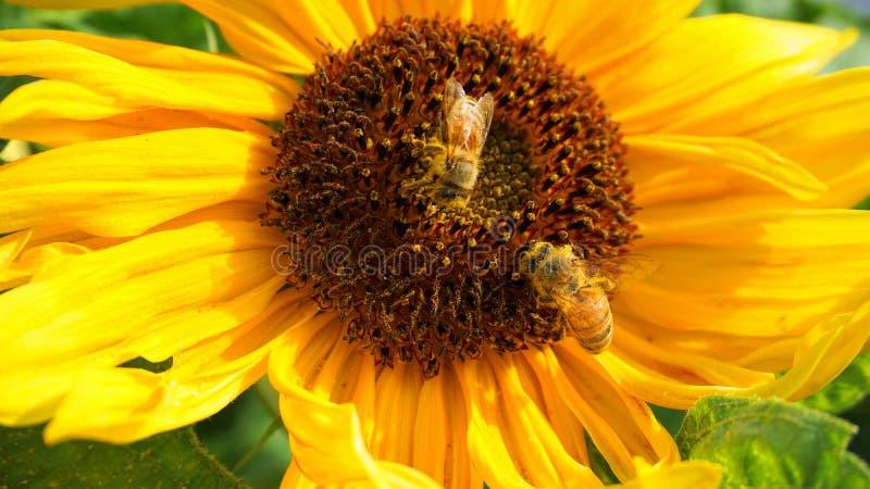 收集花蜜的美丽的两只蜂蜜蜂从明亮和展示黄色向日葵顶头关闭  库存图片