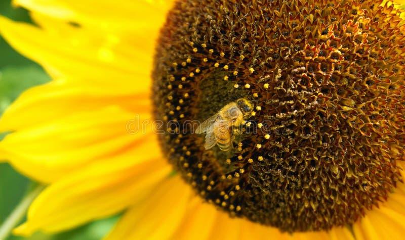 收集花蜜的美丽的蜂蜜蜂从明亮和展示黄色向日葵顶头关闭  免版税库存照片