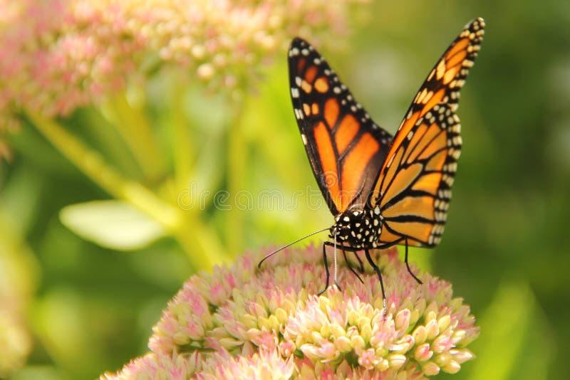 收集花蜜的黑脉金斑蝶从Sedum花 库存照片