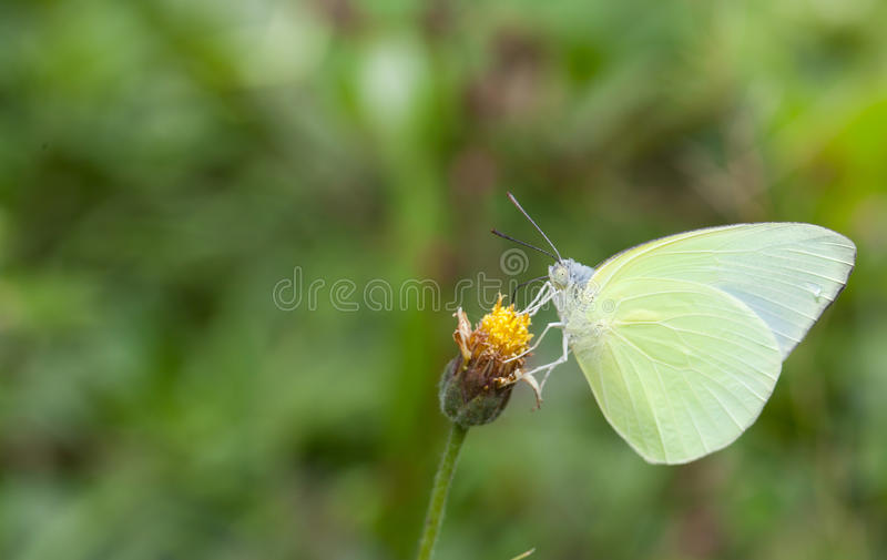 Download 收集花蜜的蝴蝶从花 库存照片. 图片 包括有 聚会所, 波诺马, 的treadled, 飞行, 移出境者 - 72360976