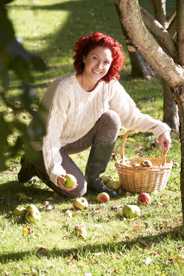 收集苹果的妇女陆运 免版税库存照片