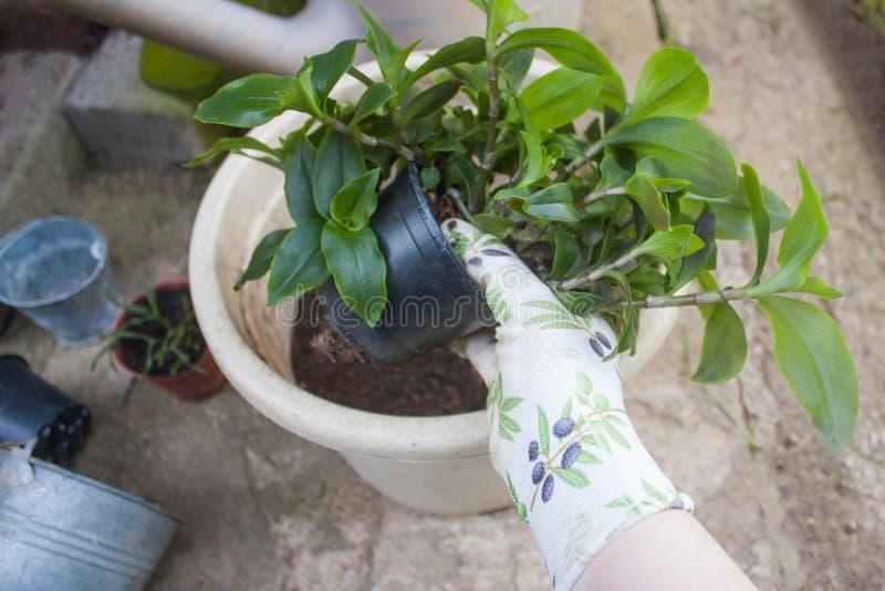 改种鲜绿色的盆的植物到一个更大的罐里 库存图片