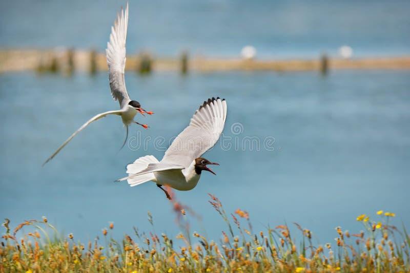 攻击一只共同的燕鸥的黑带头的鸥在海滨 免版税库存照片