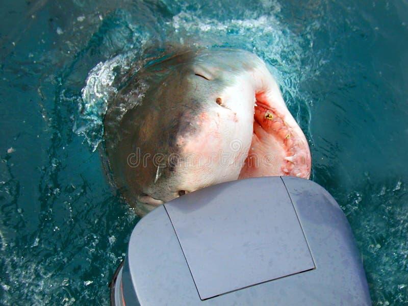 攻击的汽艇鲨鱼 库存图片