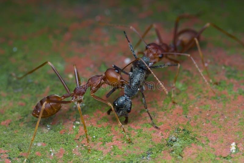 攻击黑色二织工的蚂蚁蚂蚁 库存图片
