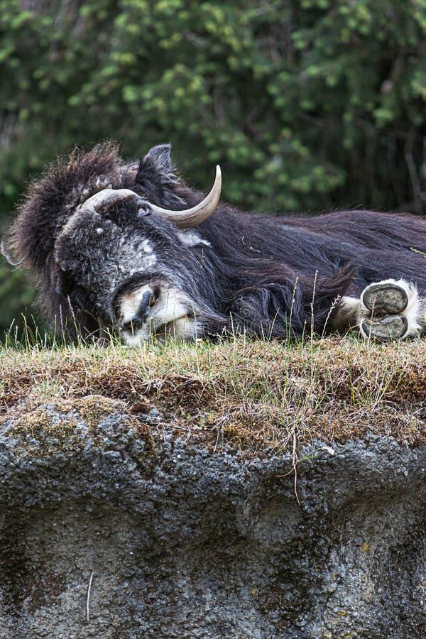放下和睡觉在象草的小山顶部的大黑毛茸的muskox 库存图片