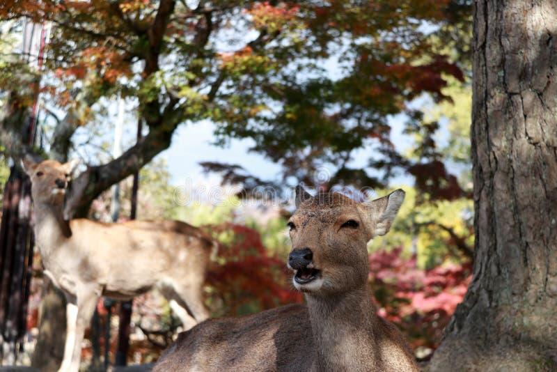放下在地板上的鹿和集中站立于背景秋天树在公园的鹿在奈良,日本 库存图片