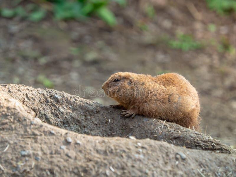 放下在洞穴入口的一只逗人喜爱的草原土拨鼠 免版税库存照片