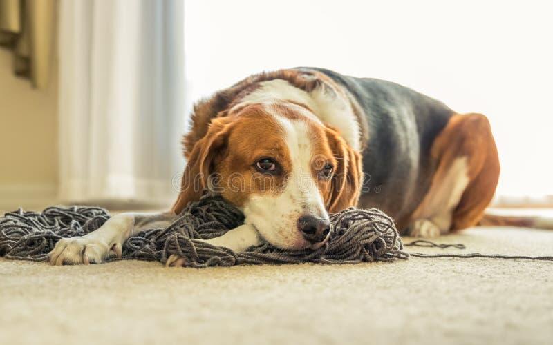 放下在被缠结的毛线混乱的小猎犬狗  放下在被缠结的毛线混乱的小猎犬狗  库存图片