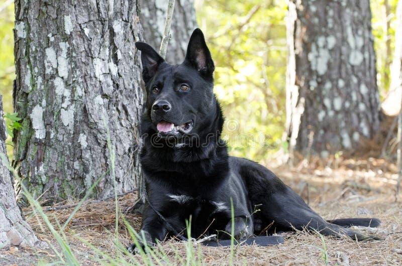 放下大黑德国牧羊犬混合品种的狗,宠物抢救 免版税库存图片