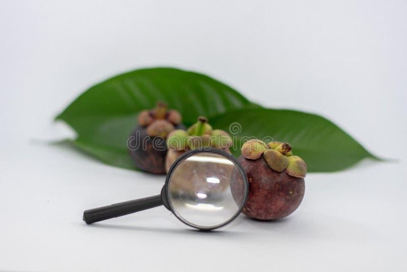 放大镜,山竹果树叶子,白色背景 免版税库存图片