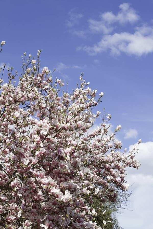 绽放木兰结构树 许多招标花 免版税库存图片
