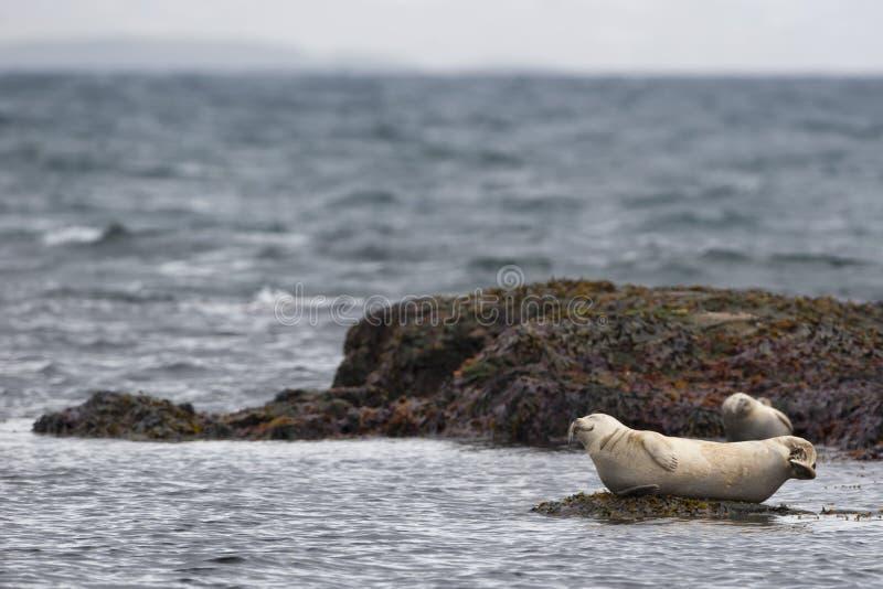 放松在一个岩石的封印在冰岛 免版税库存照片
